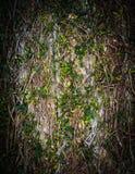 Естественная лоза предусматривала текстуру предпосылки стены с вертикальный обрамлять стоковая фотография rf