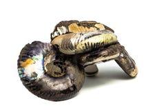 Естественная превращенная в камень раковина на белой предпосылке стоковые фотографии rf