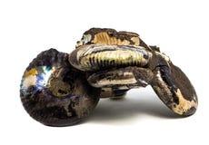 Естественная превращенная в камень раковина на белой предпосылке стоковая фотография