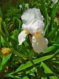 Естественная предпосылка, белая радужка в цветении стоковые изображения rf