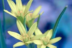 Естественная предпосылка в голубых желтых тонах - первая весна цветет лук гусыни Стоковое Фото