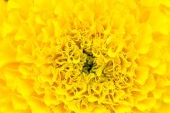 Естественная предпосылка Желтый цветок гвоздики Стоковое Фото