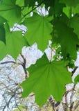 Естественная предпосылка, зеленые кленовые листы стоковые изображения rf