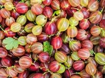 Естественная предпосылка много очень вкусное зрелое сочное сладостное gooseberr стоковая фотография rf