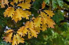 Естественная предпосылка осенних листьев в районе Vrabnitsa Стоковые Изображения RF