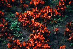 Естественная предпосылка при живые красные цветки, тонизированные на цели в холодных светах стоковое изображение rf