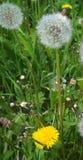 Естественная предпосылка, пушистые одуванчики стоковая фотография
