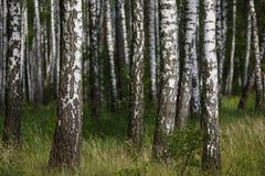 Естественная предпосылка, роща березы, лес, birchwood лета, красивый ландшафт не-городской, Стоковые Изображения RF
