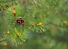 Естественная предпосылка, сосенка конца-вверх на зеленом цвете Стоковые Фотографии RF