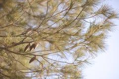 Естественная предпосылка с ветвями и конусами сосны стоковое изображение rf