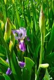 Естественная предпосылка, фиолетовая радужка в цветении стоковая фотография