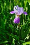 Естественная предпосылка, фиолетовая радужка в цветении стоковое фото