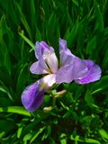 Естественная предпосылка, фиолетовая радужка в цветении стоковая фотография rf