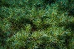 Естественная предпосылка ветвей ели Стоковая Фотография RF