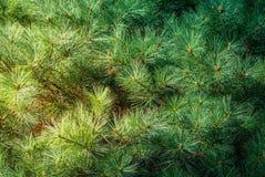 Естественная предпосылка ветвей ели Стоковое Изображение RF