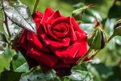 Естественная предпосылка красных роз/ Стоковое фото RF