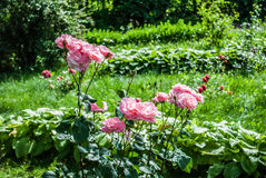 Естественная предпосылка красных роз/ Стоковая Фотография RF