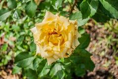 Естественная предпосылка роз Стоковое фото RF