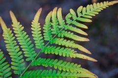 Естественная раскосная структура текстурированных зеленых лист папоротник-орляка папоротника Стоковое Фото