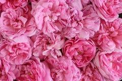 Естественная розовая предпосылка роз Плоское положение Взгляд сверху Концепция Romance и влюбленности карточки Стоковые Фотографии RF