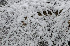 Естественная снежная предпосылка снежного куста в парке зимы, Bankya Стоковое Изображение