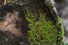 естественная текстура Мох растя на дереве отрезка Стоковое Изображение
