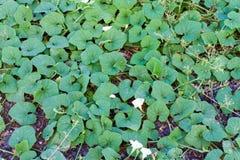 Естественная тыква плюща с зеленым цветом выходит backg природы чувствительного завода Стоковые Фото