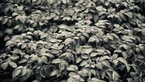 Естественное дерево выходит изолированное уникальное черно-белое фот стоковая фотография