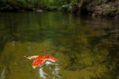 Естественное падение кленового листа rd на воду Стоковые Фото