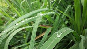 Естественное падение росы после дождя на зеленых лист Стоковые Фотографии RF