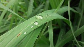 Естественное падение росы после дождя на зеленых лист Стоковые Изображения