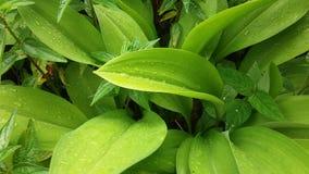 Естественное падение росы после дождя на зеленых лист Стоковая Фотография RF