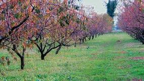 Естественное персика биологическое на заводе в зиме Стоковые Фото