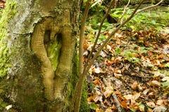 Естественное сердце влюбленности на стволе дерева Стоковая Фотография RF