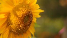 Естественное фоновое изображение красивого желтого солнцецвета сток-видео
