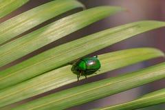 Естественное фото освещения жука cetonia на зеленых лист ладони с отмелым DOF Стоковые Фотографии RF