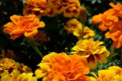 Естественное flowers… желтого цвета лета цветет состав в парке города Стоковые Фото