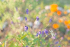 Естественной предпосылка покрашенная пастелью, цветок лаванды Стоковое фото RF