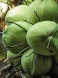 Естественно молодой образ жизни питья воды кокоса Стоковые Фотографии RF