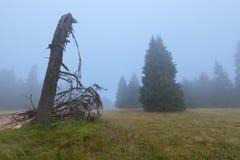 Естественные древесины елевых деревьев как мистический ландшафт Стоковые Изображения RF