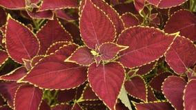 Естественные задние красные лист Стоковые Изображения RF