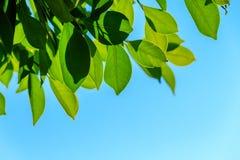 Естественные листья зеленого цвета на предпосылке неба Стоковое Изображение RF