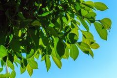 Естественные листья зеленого цвета на предпосылке неба Стоковые Изображения