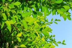 Естественные листья зеленого цвета на предпосылке неба Стоковое Изображение