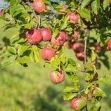 Естественные красные яблоки в Италии Стоковые Изображения RF