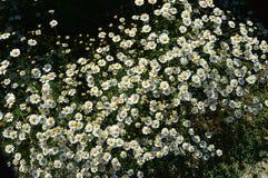 Естественные маргаритки, маргаритки, сотни маргариток, белых маргариток Стоковые Изображения RF