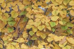 Естественные обои парка города формы листьев осени дерева Стоковое Фото