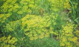 Естественные органические специи Зеленый укроп в саде Стоковое фото RF