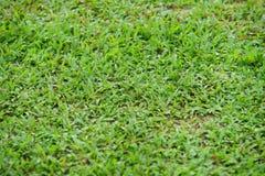 Естественный азиатский крупный план зеленой травы в утре стоковые изображения rf