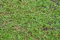 Естественный азиатский крупный план зеленой травы в утре стоковое изображение rf